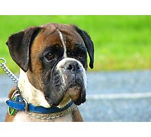 Beautiful Jowls! - Boxer Dog - NZ Photographic Print