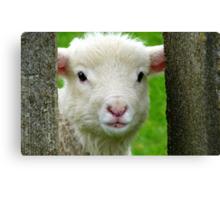 Hi Bubbler's - Lamb - NZ - Southland Canvas Print