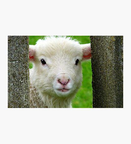 Hi Bubbler's - Lamb - NZ - Southland Photographic Print