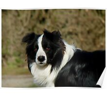 I Herd... The Word Sheep!!... - Border Collie - NZ Poster