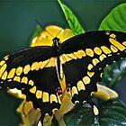 Giant Swallowtail by autumnwind