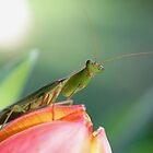 Praying Mantis on Tulip by Tracy King