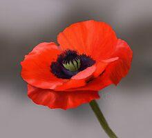 Poppy by Kirsty Whittingham