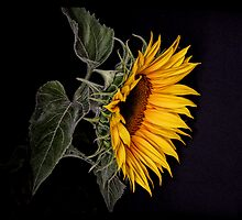 Mellow Yellow by Sharon Hammond