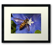 Hoverfly on flower Framed Print