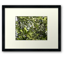 Mistletoe With Berries Framed Print