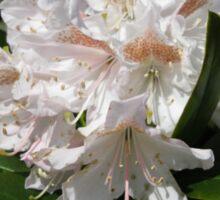 Delicate Rhododendron Blossoms Sticker