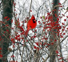 Cardinal  by Vonnie Murfin
