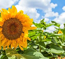 Closeup of a sunflower in a field  by PhotoStock-Isra