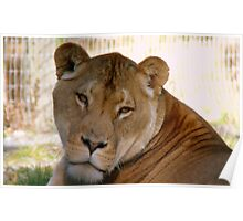 I'm Not Smiling Today! - Lioness - Orana Wildlife Park CHC NZ Poster