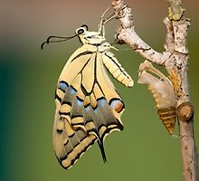 Butterfly as it emerges from its cocoon. by PhotoStock-Isra