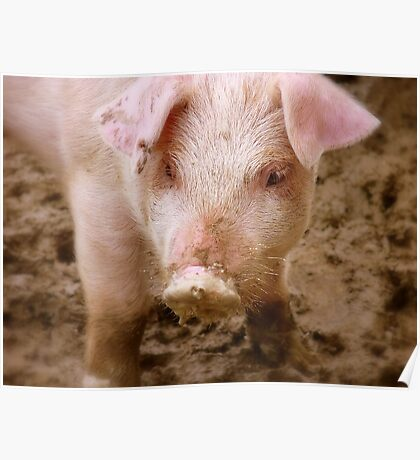 Oh No Mum.. I Didn't Have Any Curds And Whey This Morning!! - Baby Piglet - NZ Poster