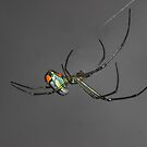Orchard Orb Weaver  by Terry Best