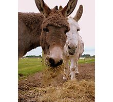 Hay... You Wanna Try Some!!! - Donkeys - NZ Photographic Print