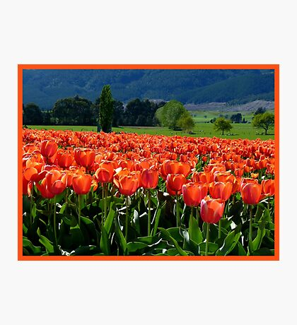 Natures Glorious Tulips! - NZ - Southland Photographic Print