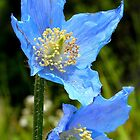 The Colour of Sky! - Himalayan Poppy - NZ by AndreaEL