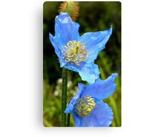 The Colour of Sky! - Himalayan Poppy - NZ Canvas Print
