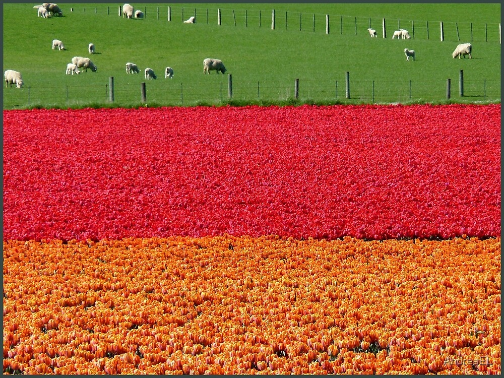 Natures Traffic Lights! - Tulip Plantation - NZ by AndreaEL