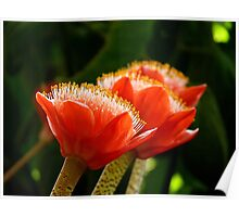 Nature's Bright Shaving Brushes - Paintbrush Lily - NZ Poster