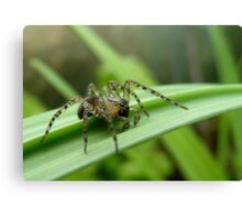 Where To Next! - Spider on Celery Stalk - NZ Canvas Print