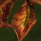Autumn Leaf by camohamo