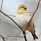 American Goldfinch All Fluffed Up by Bonnie T.  Barry