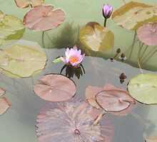 Water Lilies by TimDuck