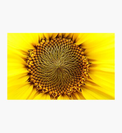 Natures Perfection - Sunflower - NZ Photographic Print