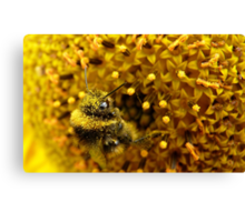 Bombus In A Sea Of Pollen! - Bumblebee On Sunflower - NZn Canvas Print