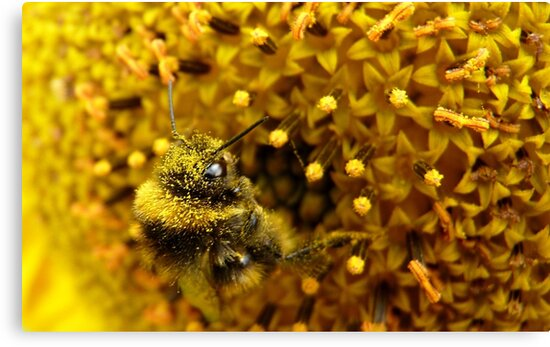 Bombus In A Sea Of Pollen! - Bumblebee On Sunflower - NZn by AndreaEL