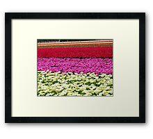 Vivid Streaks - Tulip Plantation - Southland Framed Print
