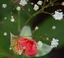 Pink Rose Bud 3 by Amanda Fultz