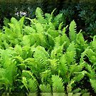 Multitude of Ferns in Mirrored Frame by BlueMoonRose
