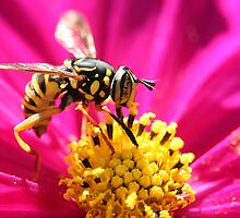 Coolest Hover Fly Ever by Belinda Chambers