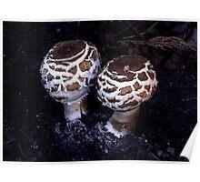 Shaggy Parasol Mushroom Poster