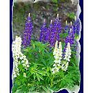 WILD LUPINE  by Madeline M  Allen