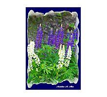 WILD LUPINE  Photographic Print