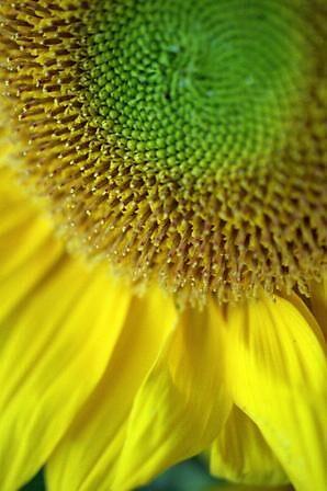 Sunflower by originalprint