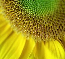 Sunflower by originalprint