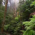 rainforest walking track to Montezuma Falls, Rosebery, Tasmania by gaylene