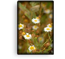 Daisy-like Canvas Print
