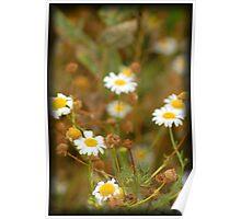 Daisy-like Poster