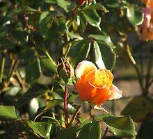 bight rose by ranjini