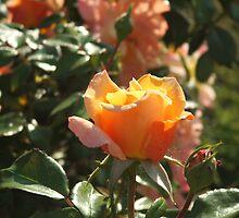 Bight rose2 by ranjini