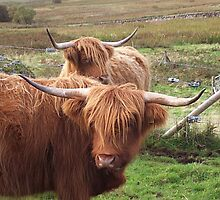 Heilan' Coos by fenner