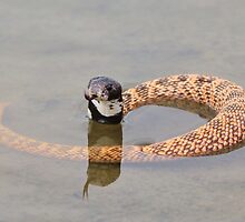 Shield Nose Snake - Dangerous Beauty by LivingWild