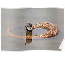 Shield Nose Snake - Dangerous Beauty Poster