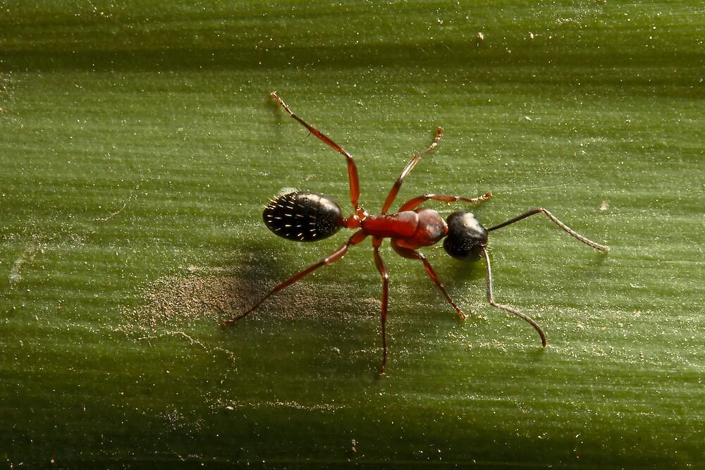 Ant by Colin  Ewington