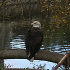 Eagle on the Lake  by Erin  Herlihy