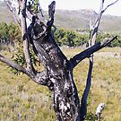 """Pinocchio"" tree - near Zeehan  by gaylene"